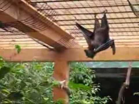 El Zorro Volador Filipino Gigante – El Dracula Frutero (Acerodon jubatus) | Farandulaya