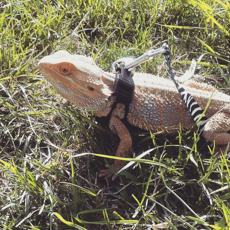 17 Best images about for my beardie on Pinterest Reptile tanks, Bearded dra...