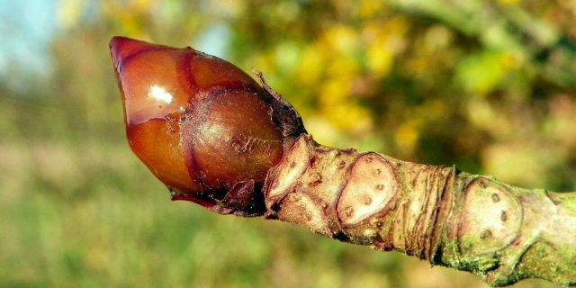 Horse chestnut (Aesculus hippocastanum) is a traditional remedy for leg vein health as it tones and protects blood vessels. The tree is also commonly known as horse-chestnut or conker tree.