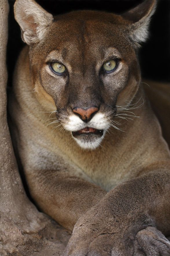 185 best cougars pumas mountain lions images on pinterest pumas big cats and lion. Black Bedroom Furniture Sets. Home Design Ideas