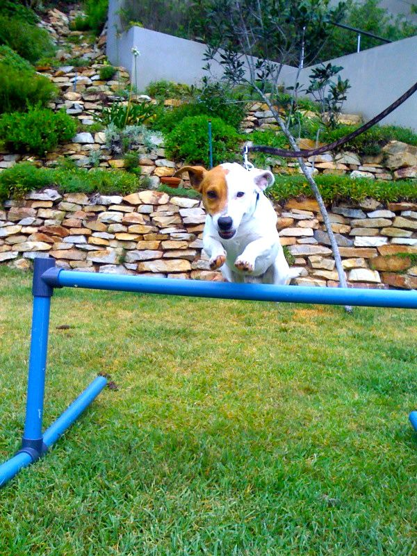 Pictures of Jack Russell Terrier Dog Breed