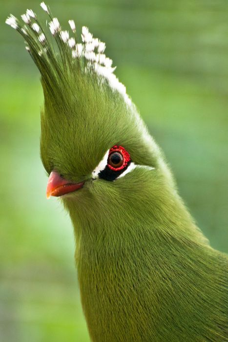 Green with envy.: Green Envi, Rare Birds, Color Animal, Nature, Beauty Birds, Hairs, Wall Decals, South Africa, Green Birds