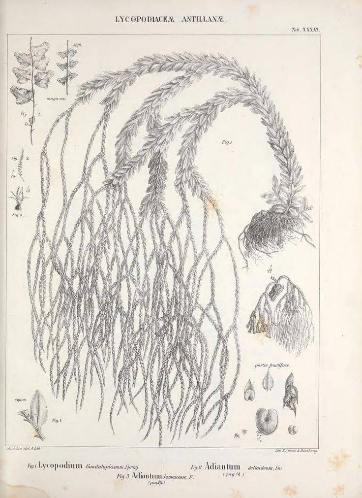 Lycopodiaceae antillanae. Mémoires sur la famille des fougères v.4 Strasbourg :Impr. de Ve. Berger-Levrault,1844- Biodiversitylibrary. Biodivlibrary. BHL. Biodiversity Heritage Library