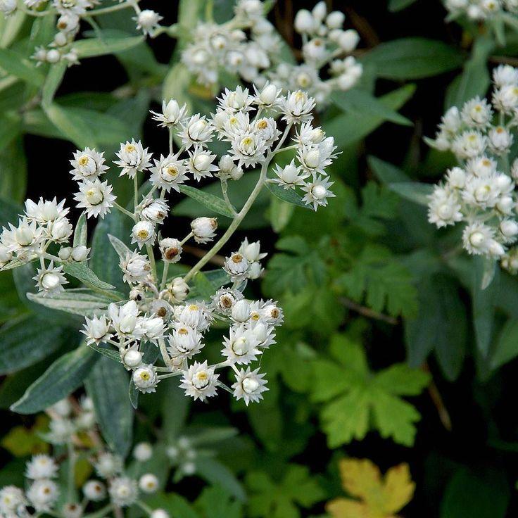Ulleternellen kanske inte uppmärksammar sig så mycket i trädgården för sig men den gör väldigt mycket för helhetsintrycket. Och väldigt fin att titta närmre på.Vanligtvis blommar den i juli-augusti men här är bilden tagen i förra veckan.  #anaphalistriplinervis #perenn #ulleternell #rabattväxt #eterneller #blommor #flowers #växter #vitablommor #trädgårdsinspiration #wexthuset #oktober #höst #odlingstips