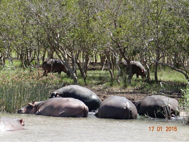 Hippos on a Durban safari Tour with Tim Brown Tours to St Lucia estuary