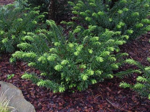 """""""Duke Gardens"""" Plum Yew for shade/part shade 3-4'"""