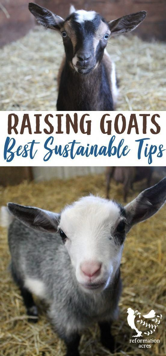 Check Out These Top Tips For Raising Goats Sustainably