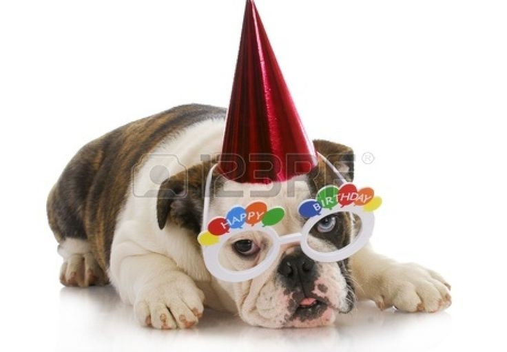 Birthday Puppy English Bulldog Wearing Party Hat And