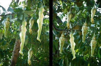 """It is called the Narilatha flower, which when translated in Hindi means flower in the shape of a lady. It is also called the Liyathabara Mala in local Sri Lankan dialect. The tree is also said to be found in Thailand where it is allegedly called """"Nareepol.""""  The Narilatha flowering plant is said to grow in the hilly slopes of Himalayas in India and is understood to bloom once in two decades only; in other words it blossoms into a lady like flower after a 20-year interval."""
