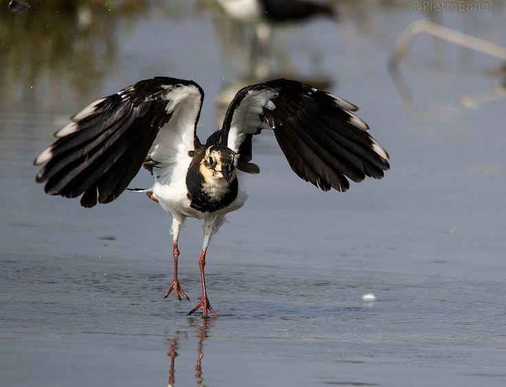 Camminare sull'acqua - Pavoncella -  peewit - vanellus vanellus