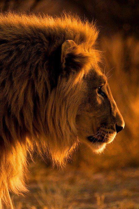 """""""Sunlit Lion."""""""