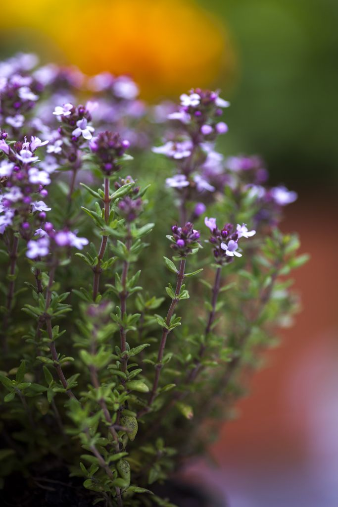 Fantastically versatile in the kitchen, thyme (Thymus vulgare) is also great for growing in pots or along the edge of paths.