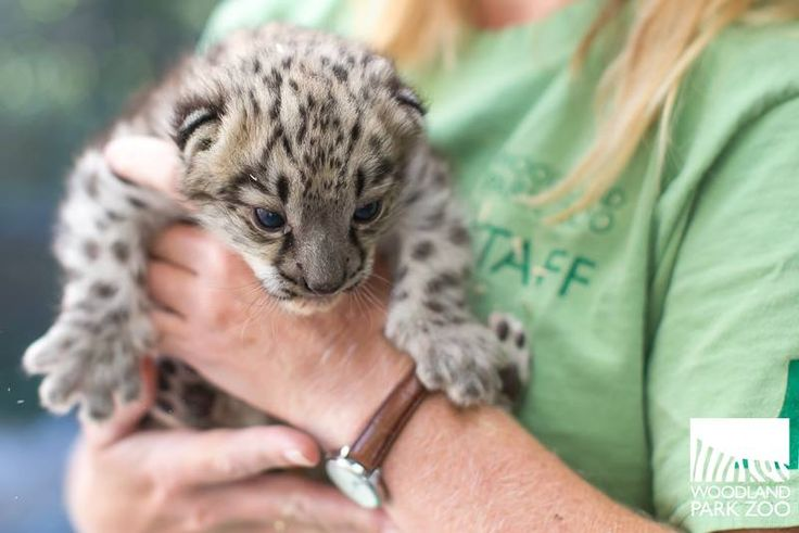 On July 6, a 12-year-old Snow Leopard named Helen gave birth to a female cub at Woodland Park Zoo. The new cub is the first offspring for mom and her 12-year-old mate, Dhirin. (Helen has given birth to two previous litters, with a different mate.) Mom and her cub are currently in an off-view maternity den, to allow bonding. More on ZooBorns: http://www.zooborns.com/zooborns/2017/07/sweet-snow-leopard-cub-born-at-woodland-park-zoo.html
