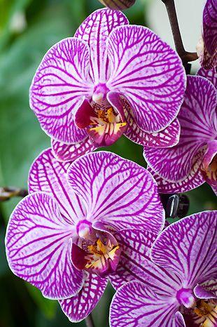Les 48 meilleures images du tableau orchid es sur pinterest fleurs exotiques fleur orchid e - Entretien orchidee phalaenopsis ...