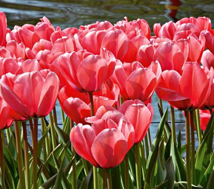 Pretty as can be, pink Tulips fill the garden with a crescendo of spring color. Pleasing to the eye and easy to use when creating harmonious color combinations.