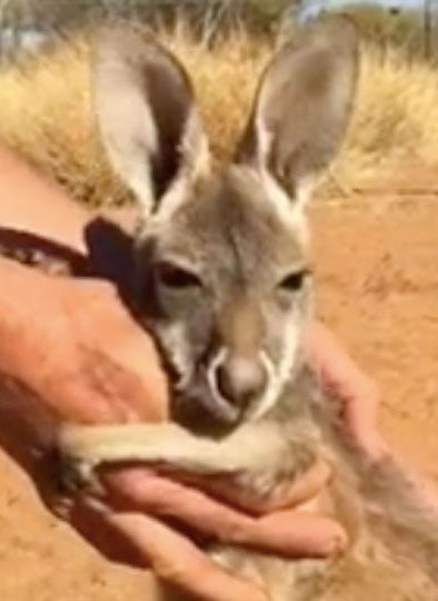An orphaned baby kangaroo named Indi at The Kangaroo Sanctuary in Alice Springs, Australia, loves to play with the sanctuary workers — especially if it means she can get a good hug out of it