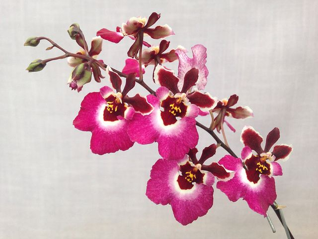 Tolumnia Pretty 'n Pink Z-19625 #tolumnia #equitant #oncidium #orchid | by Orchids by Hausermann