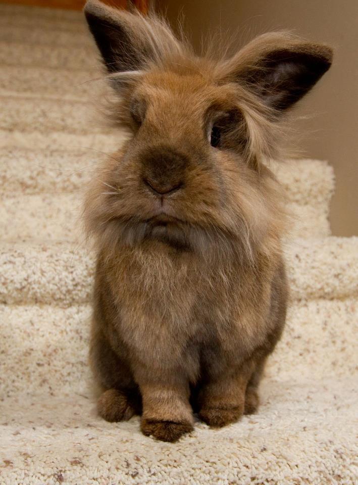 Lionhead bunny...awww! | Lionhead rabbits | Pinterest