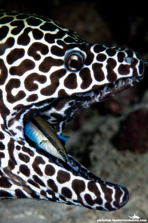 .~Honeycomb Moray Eel getting it's mouth cleaned by a Cleaner Wrasse~. @adeleburgess