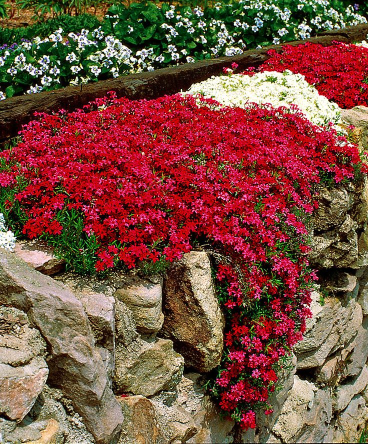 Moss Phlox (Phlox subulata) is a richly flowering, clump-forming phlox that stays green in both summer and winter. In spring these plants produce innumerable crimson and white flowers that attract butterflies. These Phlox like to be planted in full sunshine.