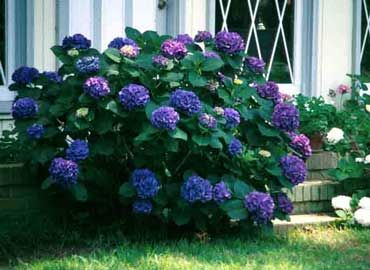 37 best images about plantas de exterior on pinterest for Cuidar hortensias exterior