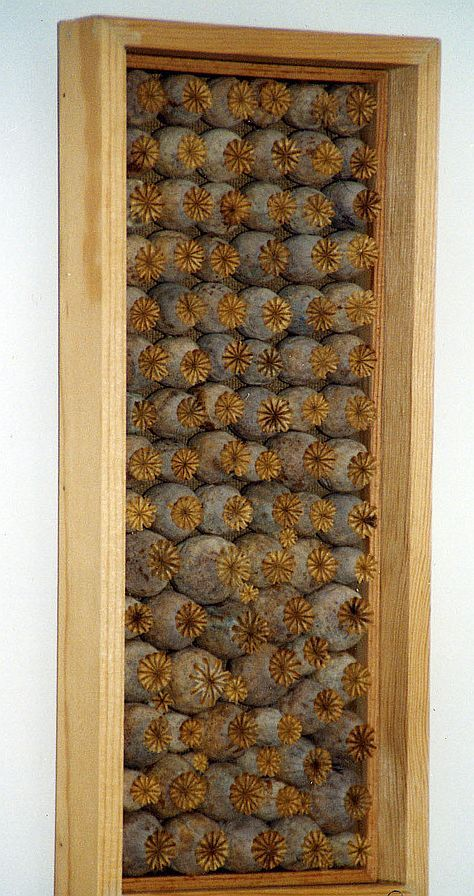 Large Dried Poppy Pods in Picture Frame  (Wall Decor)
