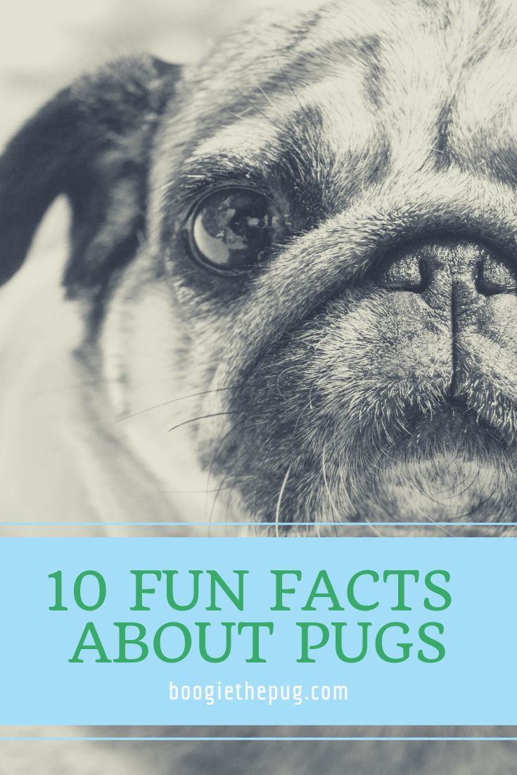 10 Fun Facts About Pugs Pug Facts Fun Facts Pugs