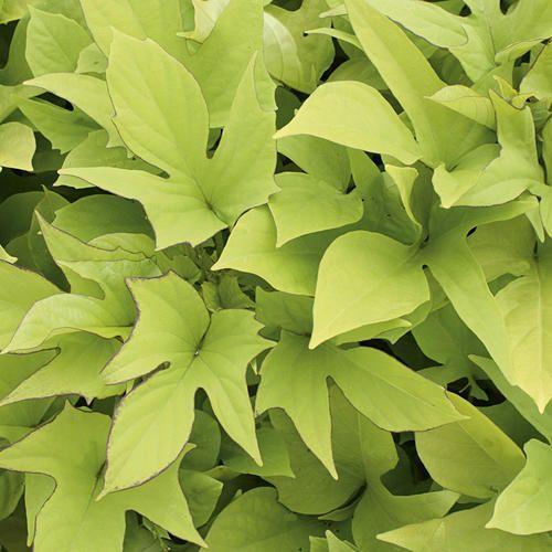 Ipomoea Sweet Potato Vine Sweet Caroline Light Green from Proven Winners