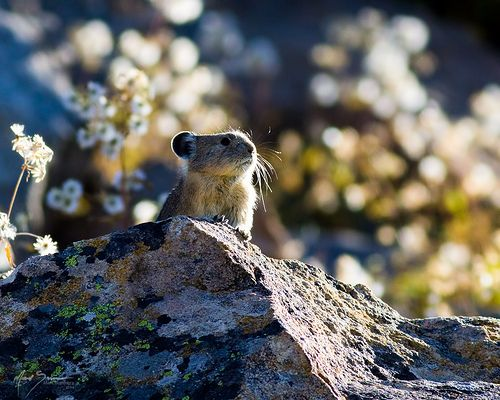 Pika in Yellowstone National Park