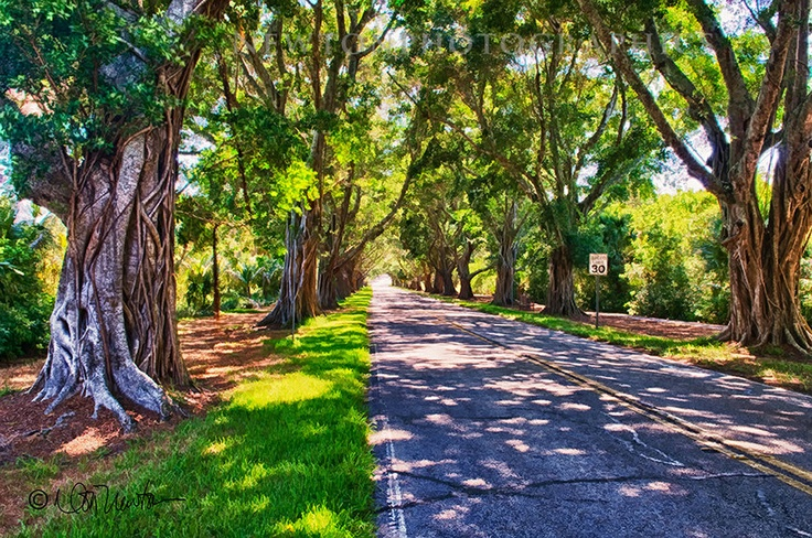Banyan Trees on my drive to the beach ( Hobe Sound, FL)...soon, very soon! Can't wait!!