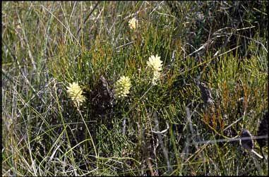 Petrophile shirleyae (Conesticks)