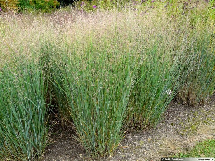 Va switchgrass is native to the area capel dr for Small perennial ornamental grasses