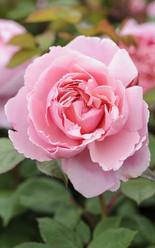 Scented roses: 'Brother Cadfael' has a delicious, old rose scent from large flowers, reminiscent of peonies. Discover more about this rose http://www.gardenersworld.com/plants/rosa-brother-cadfael/510.html Photo by Jason Ingram.