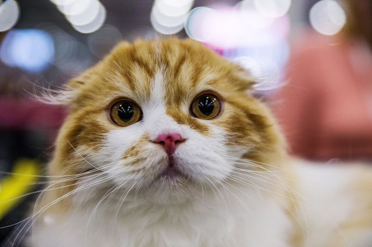 The Grand Prix Royal Canin cat show – in pictures