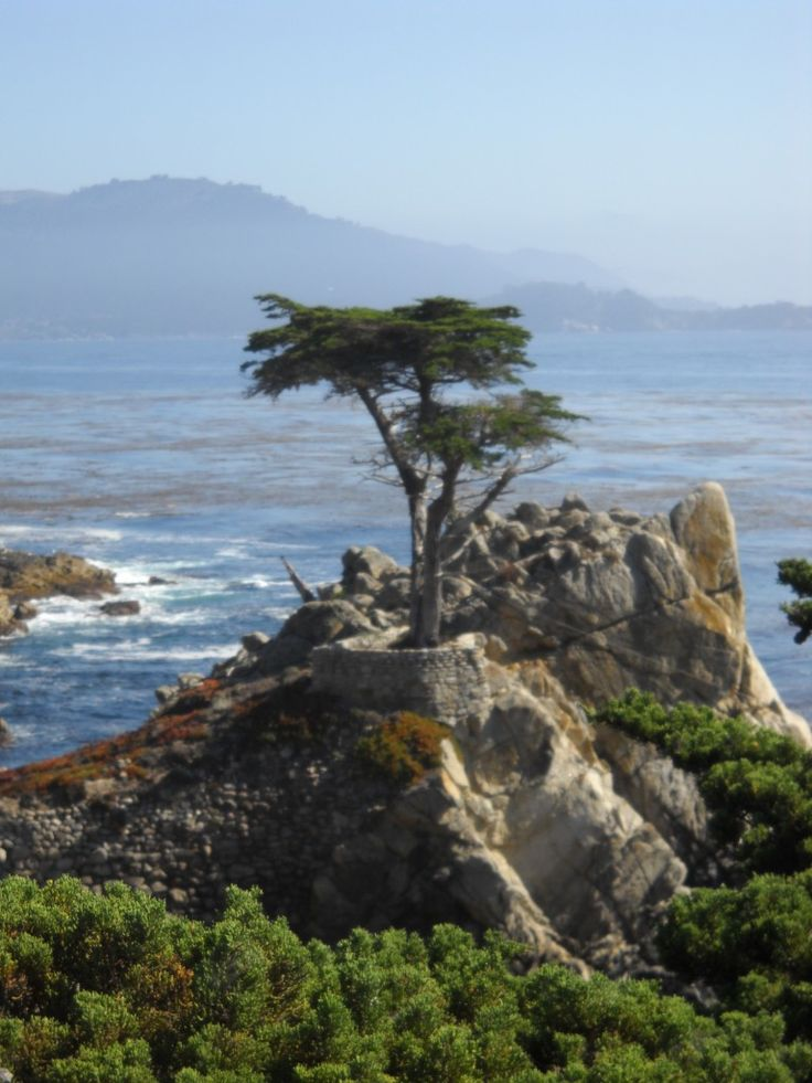 the Lone Cypress tree - 17-Mile Drive: A Scenic Drive along the Monterey Peninsula in Pebble Beach, California