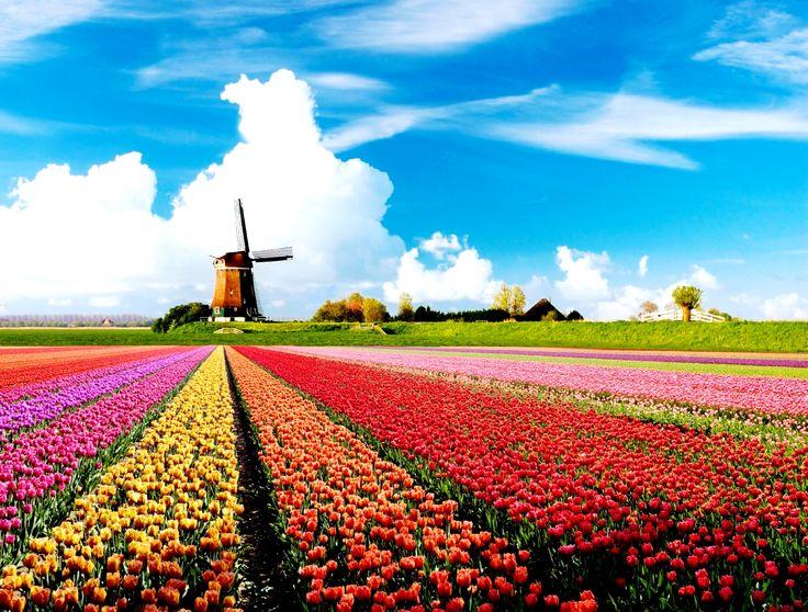 #Molen #Tulpen