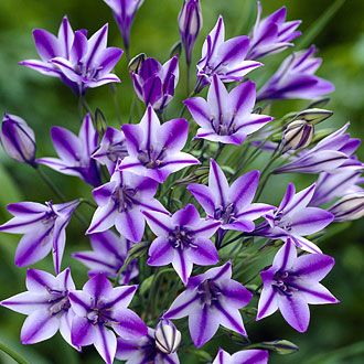 #flower #bloom  -  Lavender StarflowerBeautiful Flower, Triplets Lilies, Lavender Starflower, Pretty Flowers Places Gardens, Flower Beds Pretty, Beautiful Lavender, Lilies Rudy, Flower Gardens, Flower