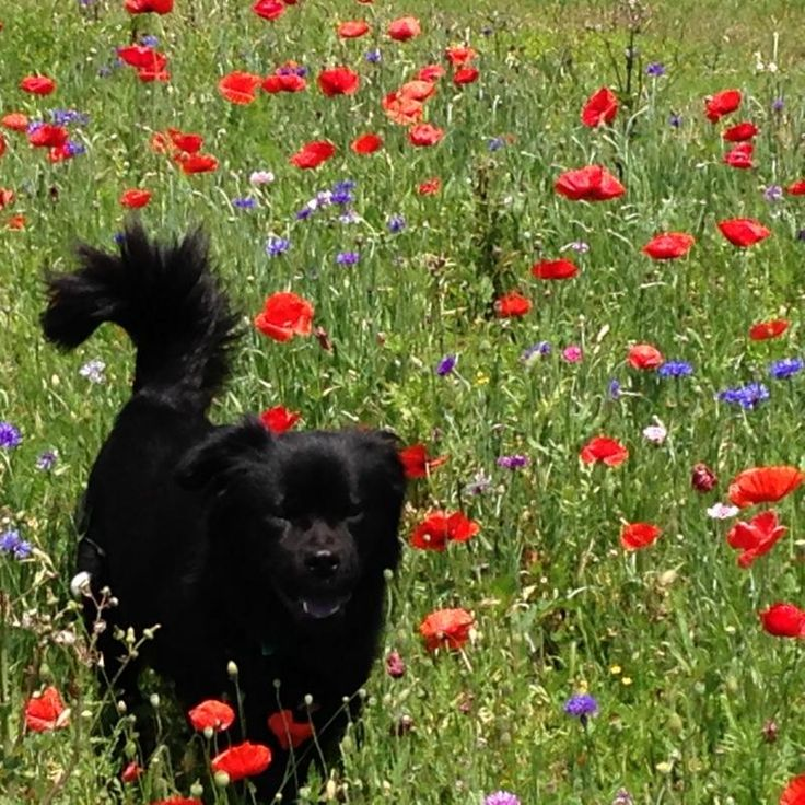 WA - Meet PEARL-IS A SWEET LOVING FLAT-COATED RETRIEVER/BLACK LABBY MIX GIRL, a Petfinder adoptable Flat-coated Retriever Dog   Seattle, WA   Pearl is an incredibly sweet, loving, cuddle and playful dog. She is Pearl is an incredibly sweet,...