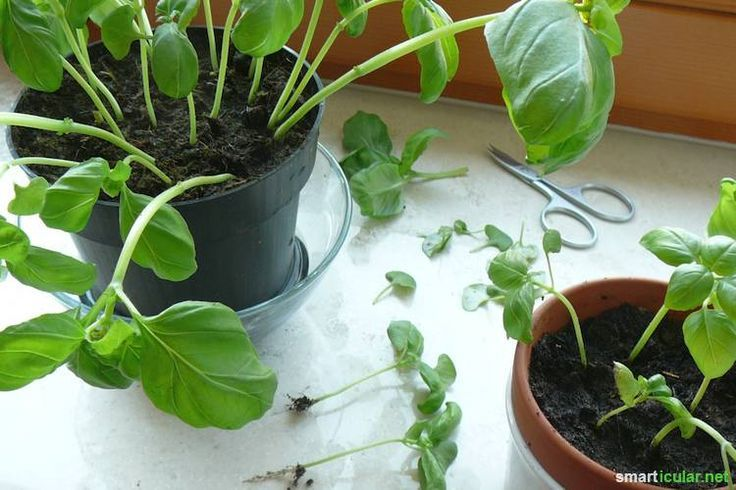 die besten 25 basilikum pflanzen ideen auf pinterest basilikumpflanze k chenpflanzen und. Black Bedroom Furniture Sets. Home Design Ideas