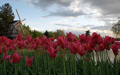 Pella, Iowa - Tulip Festival.: Http Www Pellatuliptime Com, Pella Tulip, Pella Iowa, Iowa Tulip, Time Pella, Tulip Time, Flowers Garden