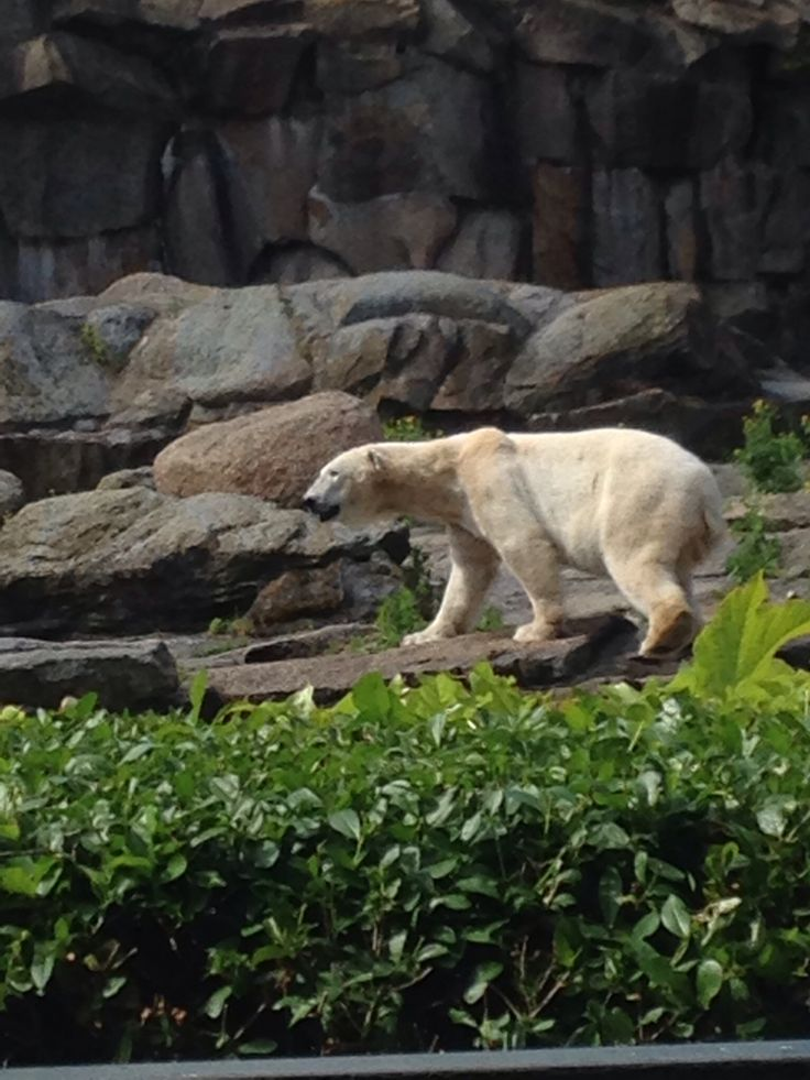 Epic  at Berlin Zoo polar bear moving constantly back and forwards
