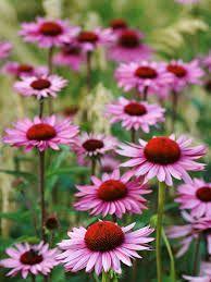 Solhatt. Finns i många färger (olika lila och röda, lime och vit). Blommar på sensommaren.