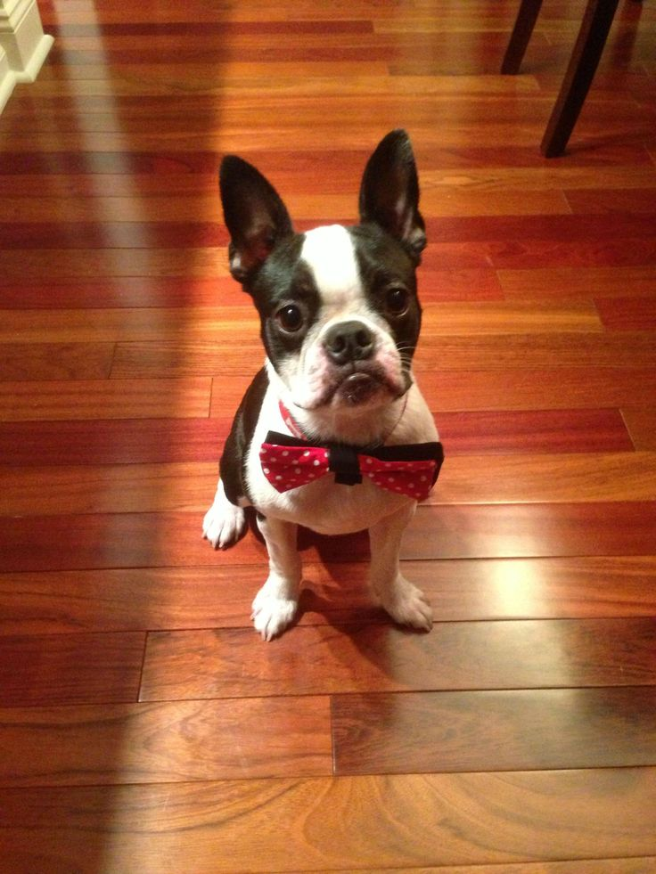 American gentleman boston terrier