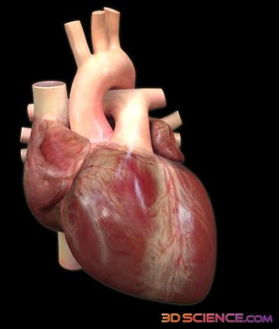 3D heart model Ceramics Image Journal Pinterest