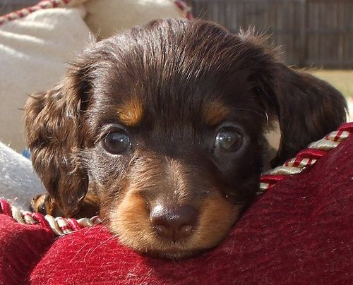 Long coat haired miniature chocolate dachshund puppies for sale AKC doxies chocolate & cream and tan (21) by Perrys_Dachshunds, via Flickr