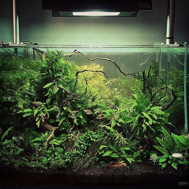 事務所の60cm水槽もかなり透明度高め✨  #ネイチャーアクアリウム  #熱帯魚  #水草  #水草水槽  #レイアウト  #ジブリ  #流木  #ミクロソリウム  #nature  #natureaquarium  #water  #watertank  #wabikusa  #fish  #fishtank  #ada  #amano  #aquarium  #aquascape  #aquadesignamano  #60cm水槽  #アピスト  #ラスボア  #ラミレジー