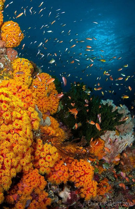 Raja Ampat, West Papua, Indonesia Gorgeous orange yellow blue coral reef