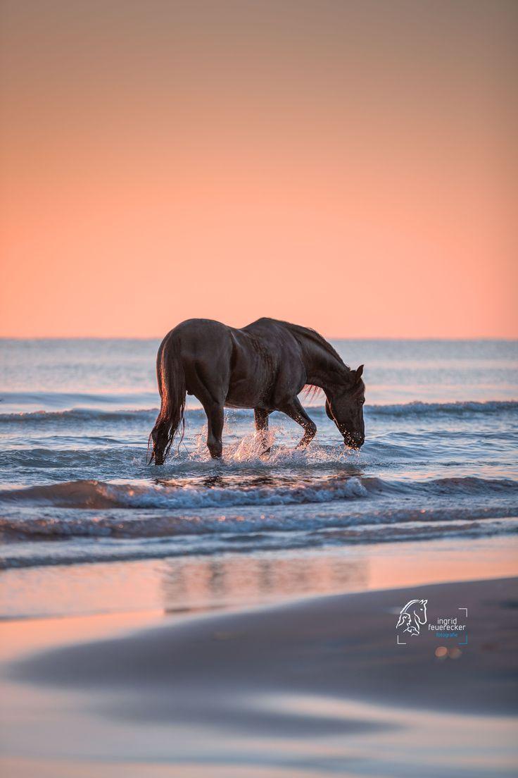 Berberhengst im Sonnenaufgang in Tunesien.    Pferdefotografie Ingrid Feuerecker | Pferd im Wasser | Pferd am Strand | Pferdebilder im Wasser | Horse …