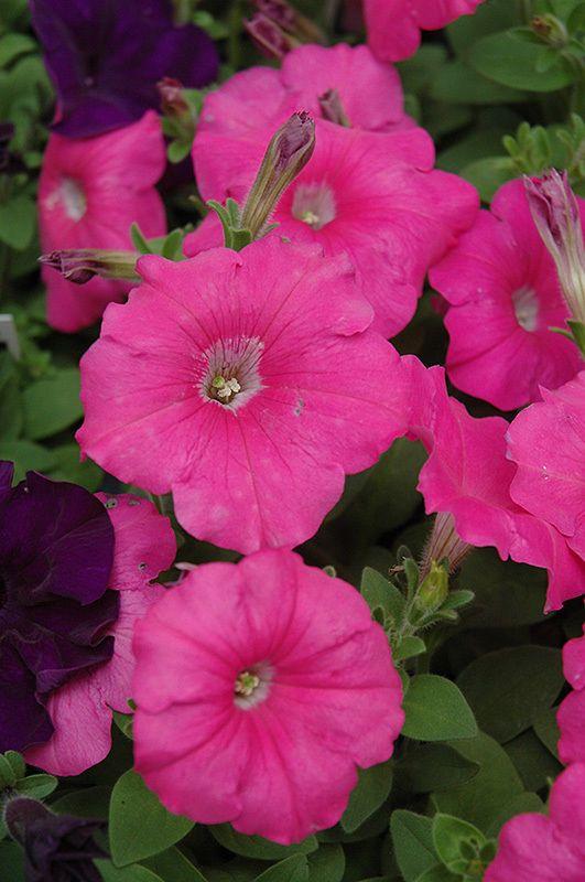 130 Petunia MADNESS PINK Live Plants Plugs Garden Home Patio Planters 377 #Petunia