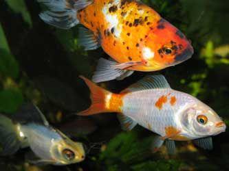shubunkin et poisson rouge blanc...